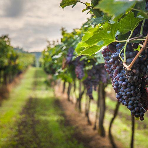 יינות כשרים מהעולם